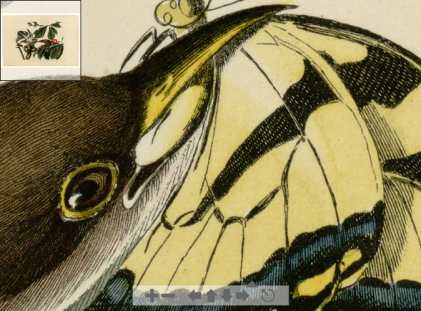Audubon Plate II - Yellow-billed Cuckoo (detail)